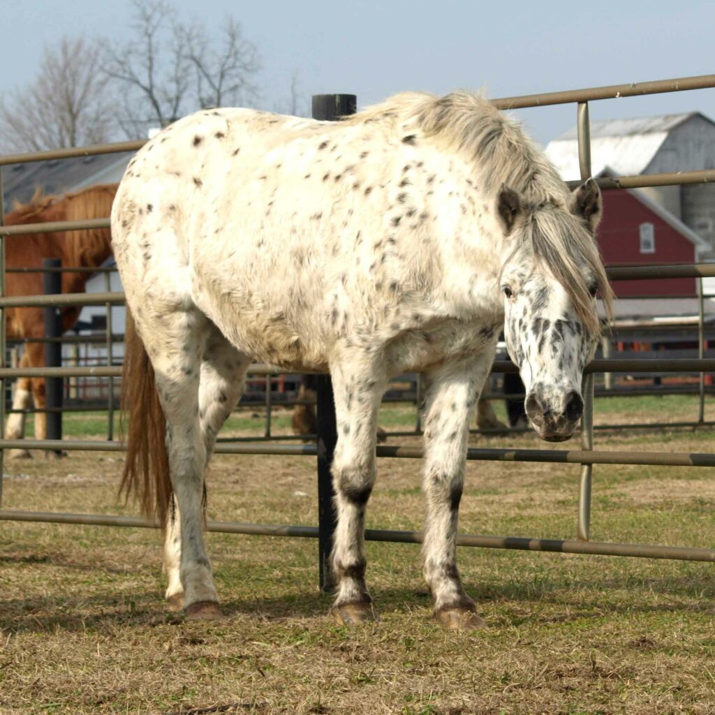 Pippin, Pony of the Americas Gelding