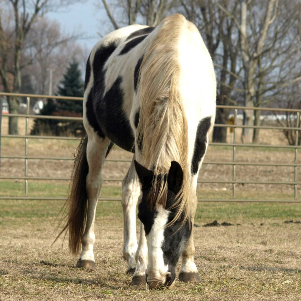 Apache, Clydesdale x Paint Gelding